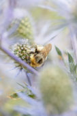 Insect op Eryngium bloem Insect op Eryngium bloem