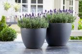 Lavandula angustifolia Valence Dark Violet