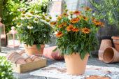 Echinacea Sombrero Orange
