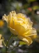 Rosa Mountbatten ®