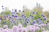 Allium Summer Beauty, Echinops ritro Veitch's Blue