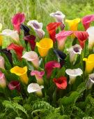 Zantedeschia colour mix