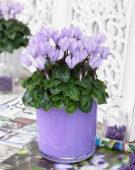 Cyclamen Make-Upz® lilac