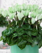 Cyclamen Make-Upz® green