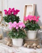 Cyclamen Varanda Pink