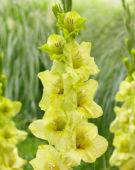 Gladiolus Prima Verde