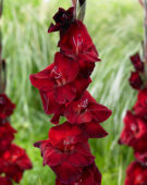 Gladiolus Zorro