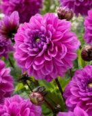 Dahlia Purple Planet
