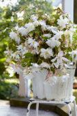 Begonia Pendula wit