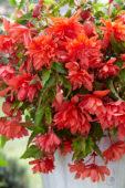 Begonia Pendula zalm
