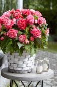 Begonia Camellia