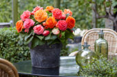 Begonia AmeriHybrid® Picotee Lace Apricot, Lace Pink