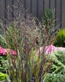 Panicum Purple Breeze