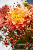 Dahlia, rose hips