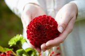 Dahlia rood