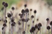Echinacea zaaddozen