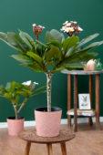 Plumeria Hawaiian