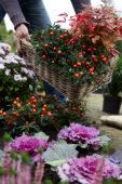 Het planten van Solanum pseudocapsicum