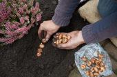 Planting Crocus bulbs