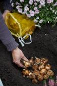 Planting daffodil bulbs