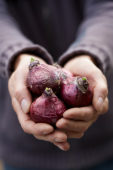 Hands holding hyacinth bulbs
