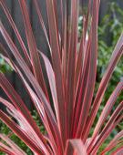 Cordyline australis Charlie Boy