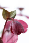 Helleborus Anna's Red