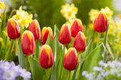 Tulipa Denmark