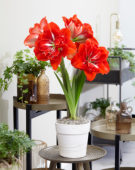 Hippeastrum Happy Nymph®