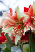 Hippeastrum Bentley