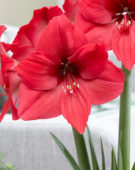 Hippeastrum Pleasure
