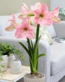 Hippeastrum Sweet Star