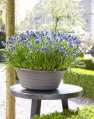 Muscari Night Eyes®