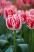 Tulipa Neglige