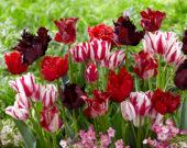 Tulipa mix red and white