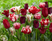 Tulipa mix red and white 2