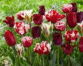 Tulipa mix rood en wit 2