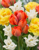 Tulipa Queensday