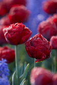 Tulipa Red Baby Doll