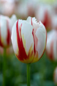 Tulipa Happy Generation