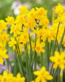 Narcissus willkommii