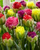 Tulipa Pop Up mix