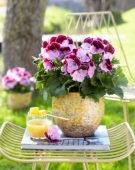 Pelargonium grandiflorum Elegance Jeanette