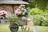 Hortensia in kruiwagen