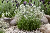 Lavandula angustifolia Arctic Snow