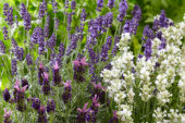 Mixed lavenders