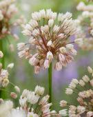 Allium convallarioides Pink