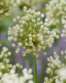 Allium convallarioides White