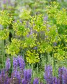 Allium chloranthum Yellow Fantasy