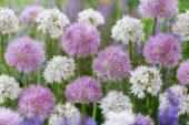 Allium Rosy Dream, Allium amplectens Graceful Beauty